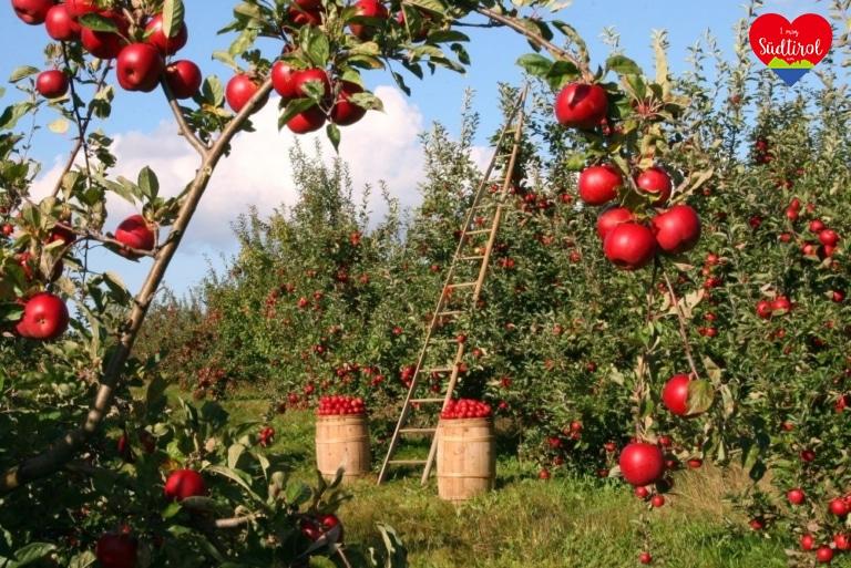 Apfel_apples-1873078_1920